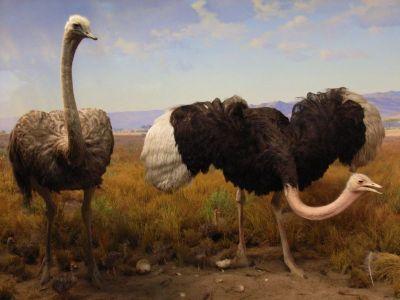 Ostrich at AMNH